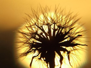 Dandelion against a sunset